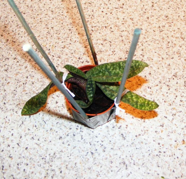 How to get new roots to grow on Paphs?-paph3-jpg