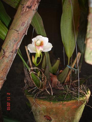 Bifrenaria harrisoniae semialba (3 clones)-bifr-harr-sa-jpg