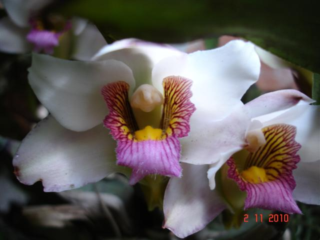 Bifrenaria harrisoniae semialba (3 clones)-bifr-harr-sa-ii-1-jpg