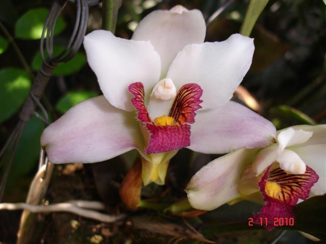 Bifrenaria harrisoniae semialba (3 clones)-bifr-harr-sa-iii-jpg