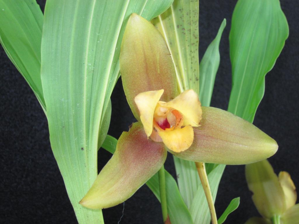 Lycaste aromatica x macrophylla-img_2135-jpg