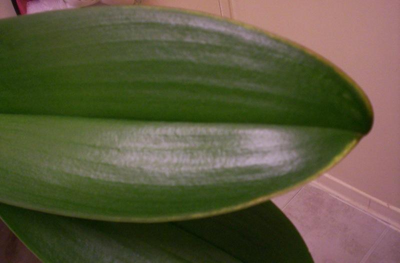 Yellow streak at end of Phalaenopsis leaf-100_0340-jpg