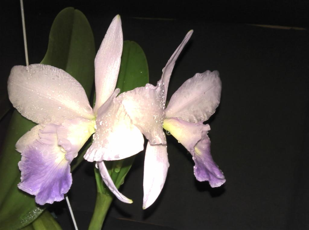 Cattleya Sea Breeze-sea-breeze-jpg