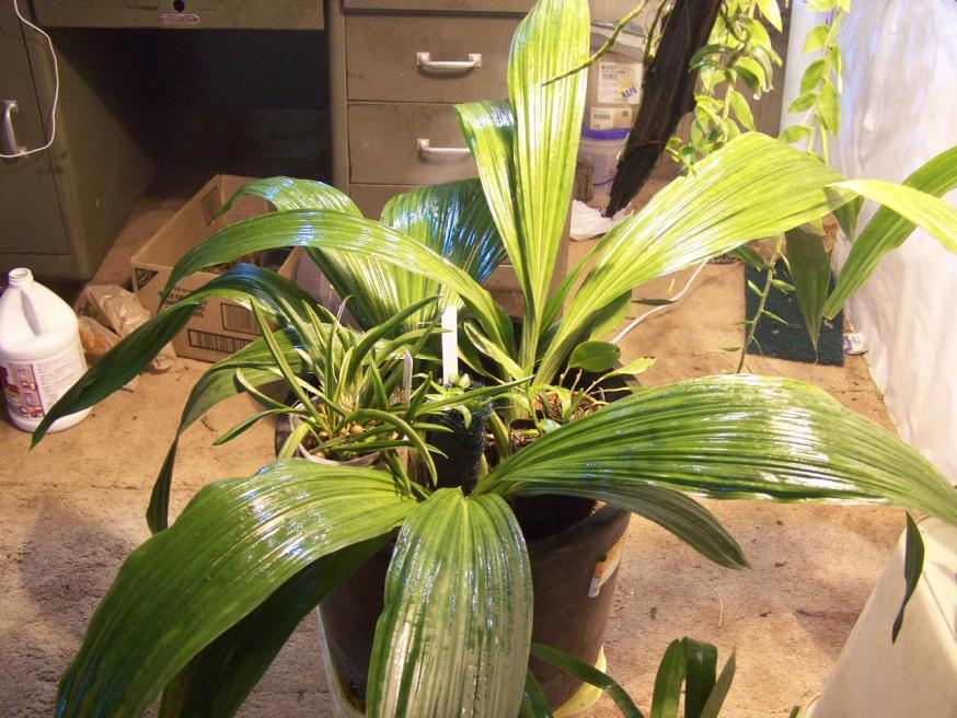 Phaius Tankervilliea with dark tips on leaves-000_0236-jpg