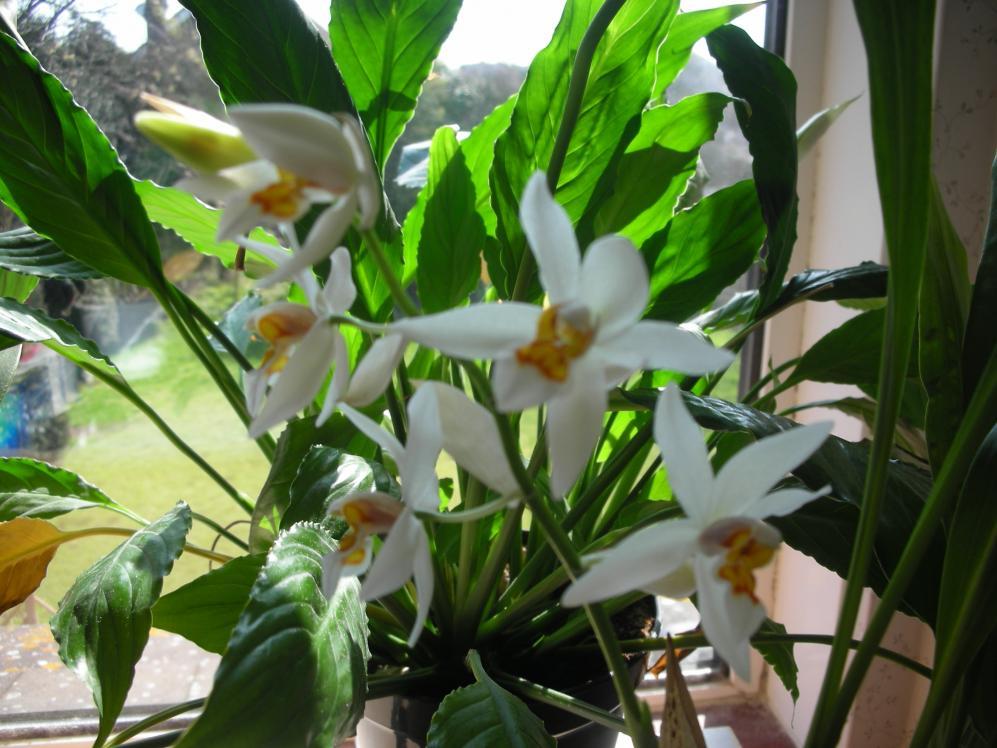 Coelogyne ochracea/ nitida - the most wonderful scent in the world!-dscn1202-jpg