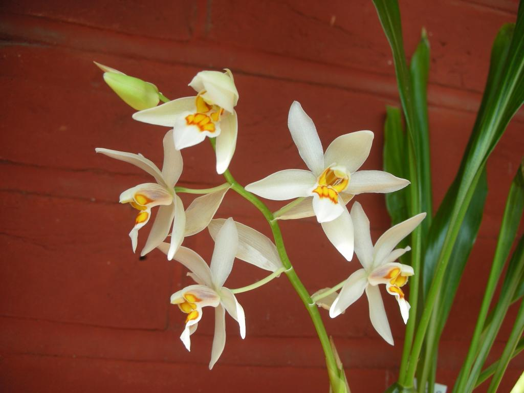 Coelogyne ochracea/ nitida - the most wonderful scent in the world!-dscn1205-jpg