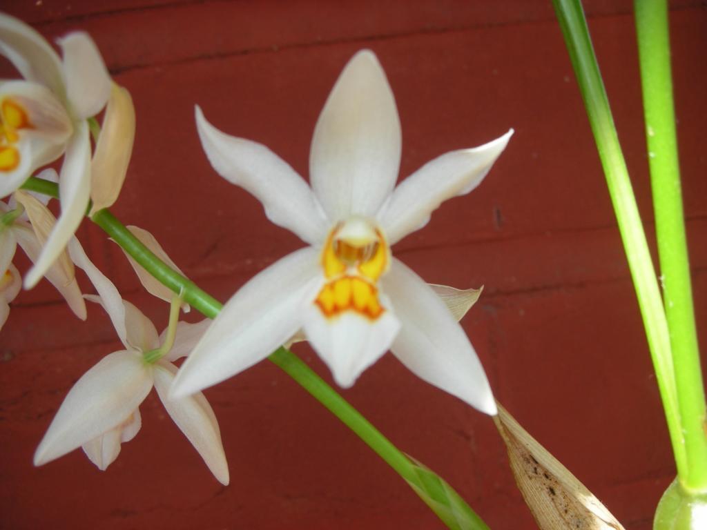 Coelogyne ochracea/ nitida - the most wonderful scent in the world!-dscn1206-jpg