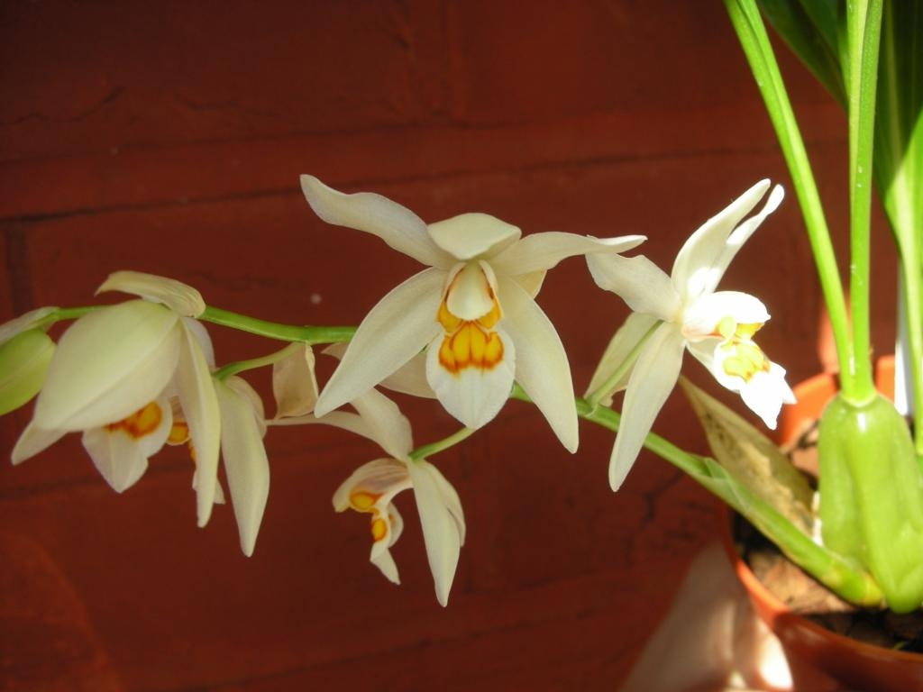 Coelogyne ochracea/ nitida - the most wonderful scent in the world!-dscn1209-jpg