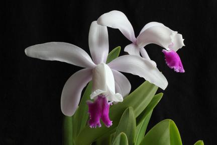 2012 OrchidBoard Calendar Contest-copy-cattleya-intermedia_web-1393-jpg