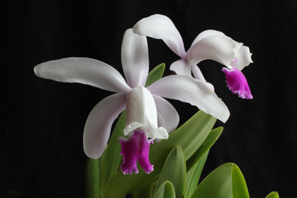 2012 OrchidBoard Calendar Contest-copy-cattleya-intermedia_web-1393-jpg