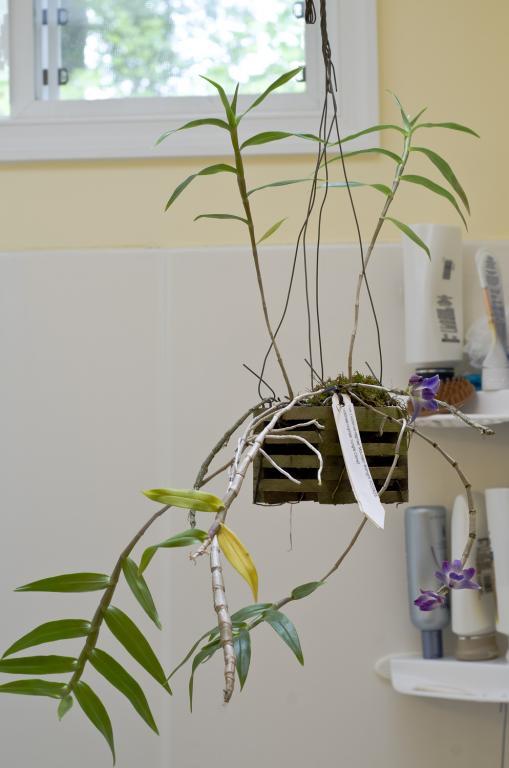 Dendrobium (victoriae-reginae) - Yellowing leaves-current-plant-jpg