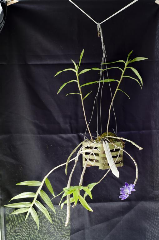 Dendrobium (victoriae-reginae) - Yellowing leaves-plant-jpg