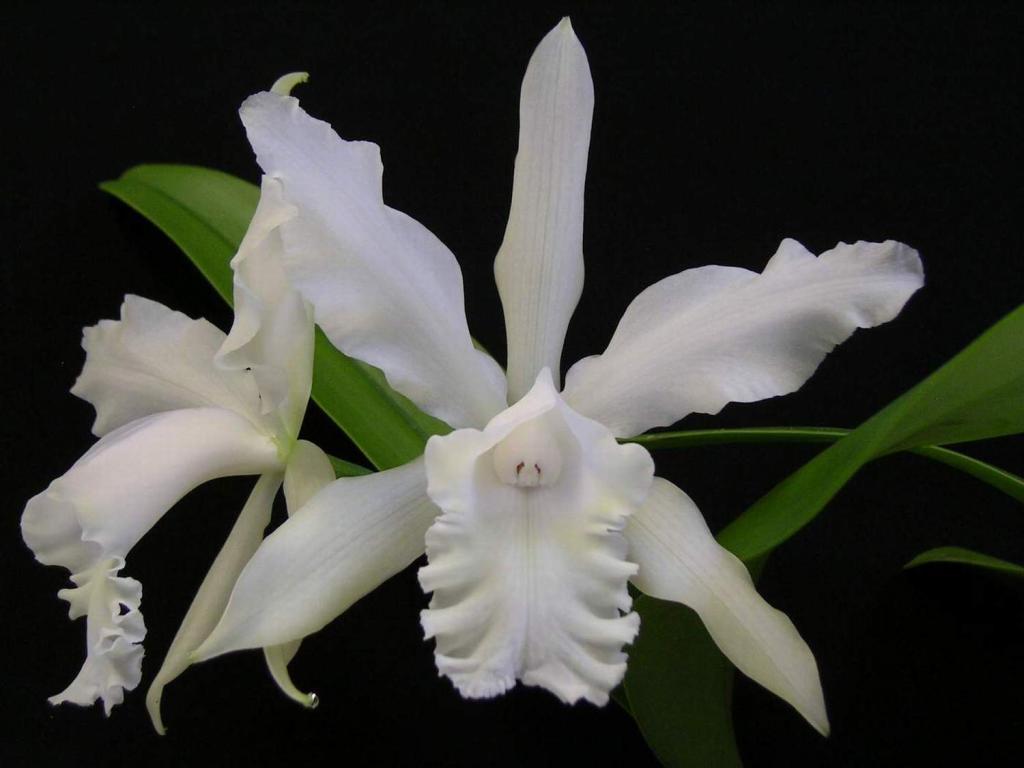 C. intermedia alba 'Pine Knot'-pine-knot-jpg