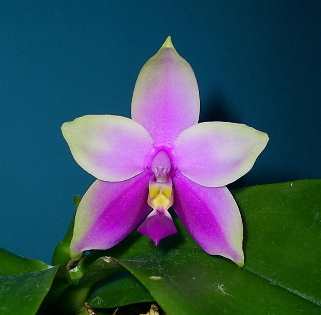 Phal violacea x Phal violacea var. Boreno-s4023172-cropped-jpg