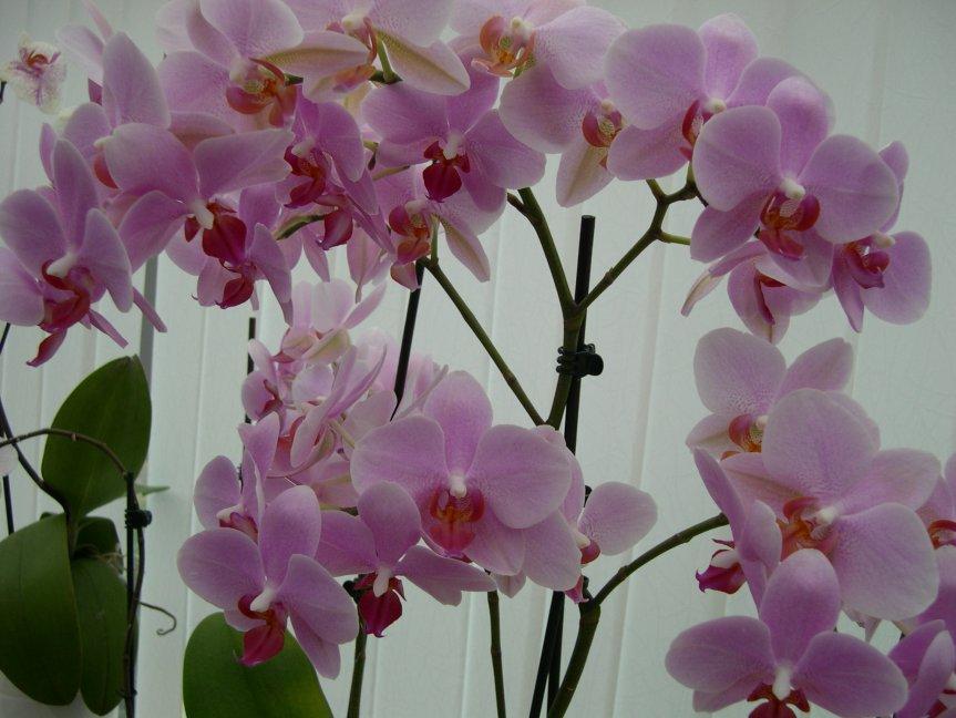 Everblooming Orchids! Yeah!!-countless-flowers-jpg