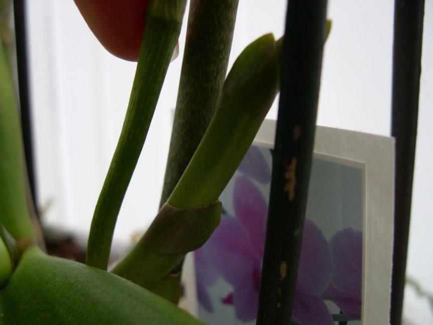 Everblooming Orchids! Yeah!!-newspike-oldspike-jpg