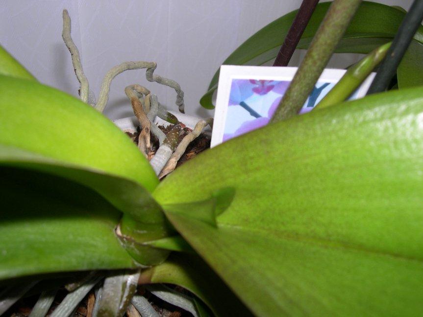Everblooming Orchids! Yeah!!-leaf-spike-jpg