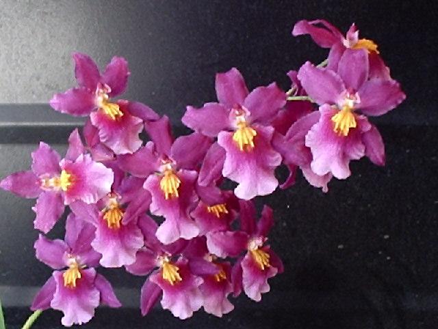 Everblooming Orchids! Yeah!!-p6220210-jpg
