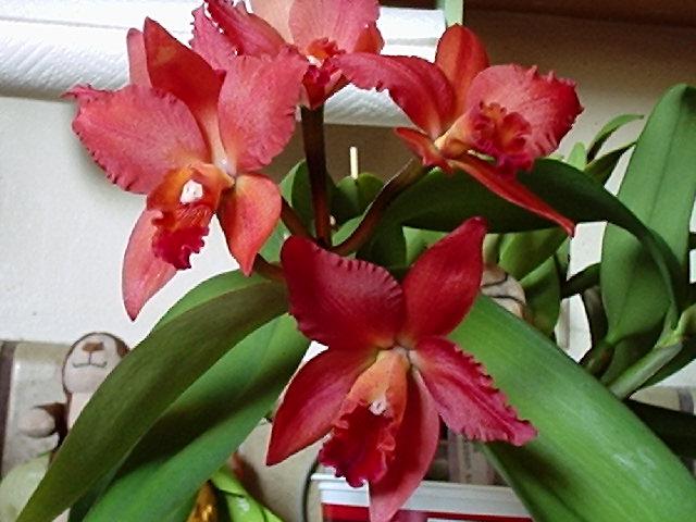 Everblooming Orchids! Yeah!!-p6260212-jpg