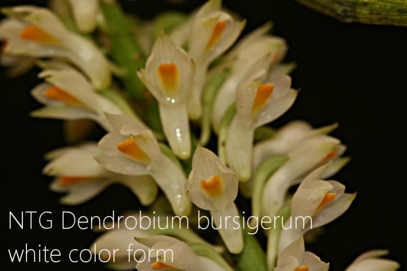 Dendrobium bursigerum white color form-img_2908-jpg