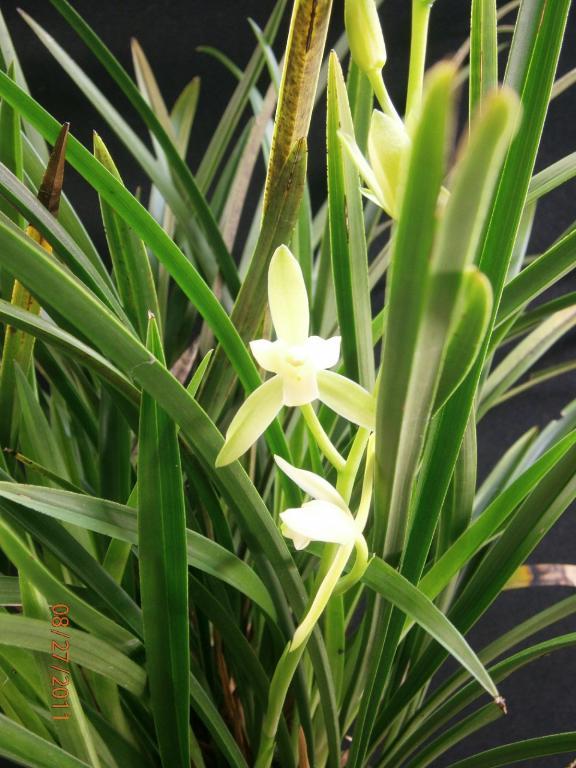 Cymbidium Ensifolium Orchid Cymbidium Ensifolium Var