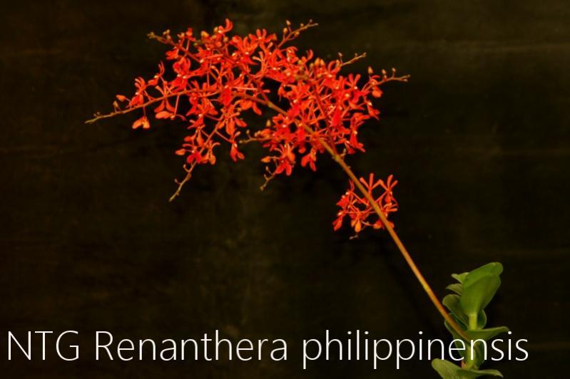Renanthera philippinensis-img_3949-jpg