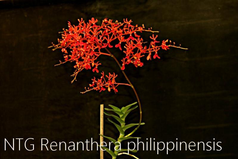 Renanthera philippinensis-img_3958-jpg