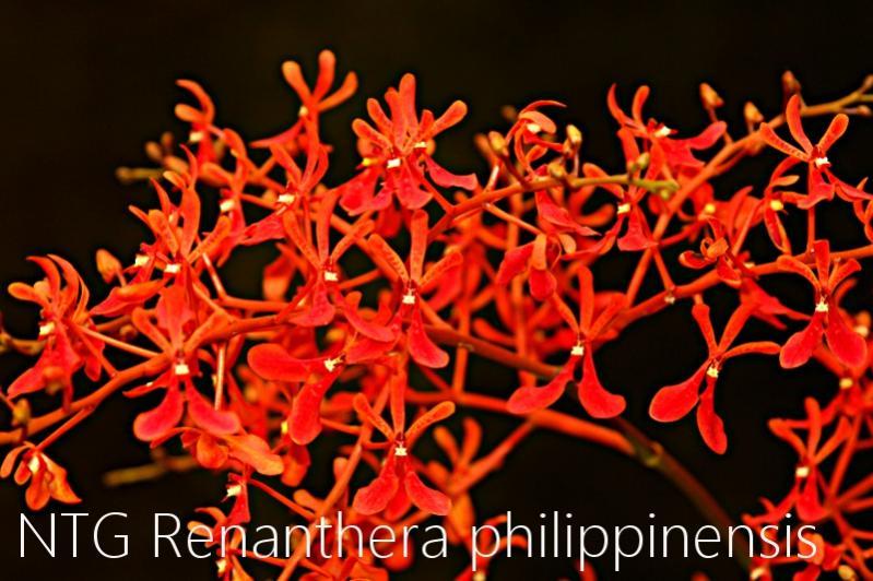 Renanthera philippinensis-img_3968-jpg