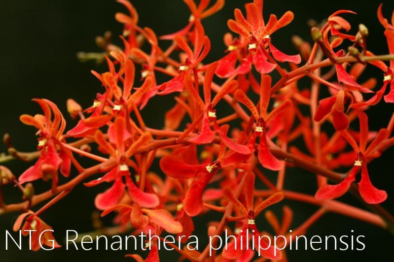 Renanthera philippinensis-img_3972-jpg