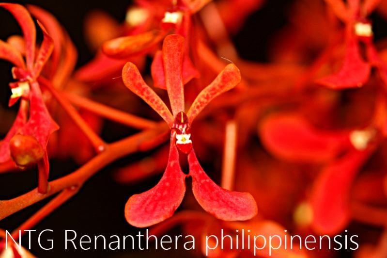 Renanthera philippinensis-img_3977-jpg