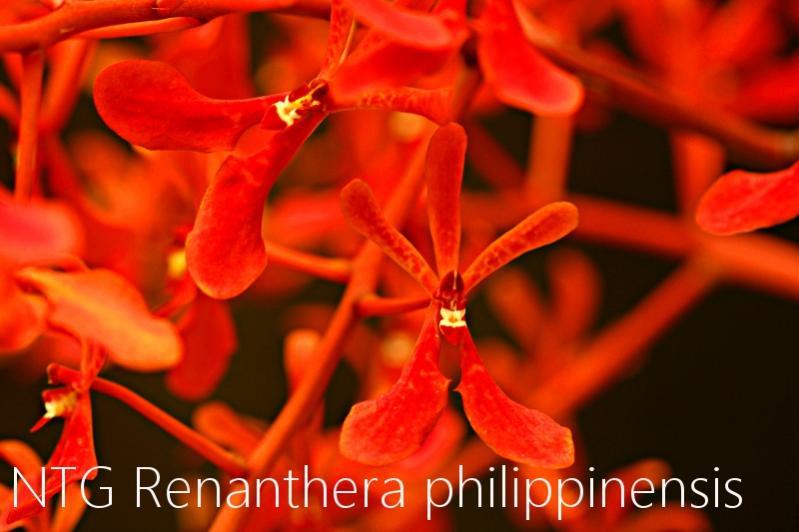 Renanthera philippinensis-img_3994-jpg