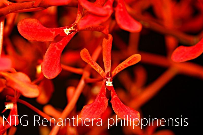 Renanthera philippinensis-img_4010-jpg
