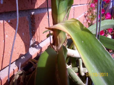Yellowing leaves on my vanda-100_0220-jpg
