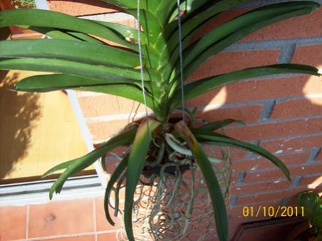 Yellowing leaves on my vanda-100_0222-jpg