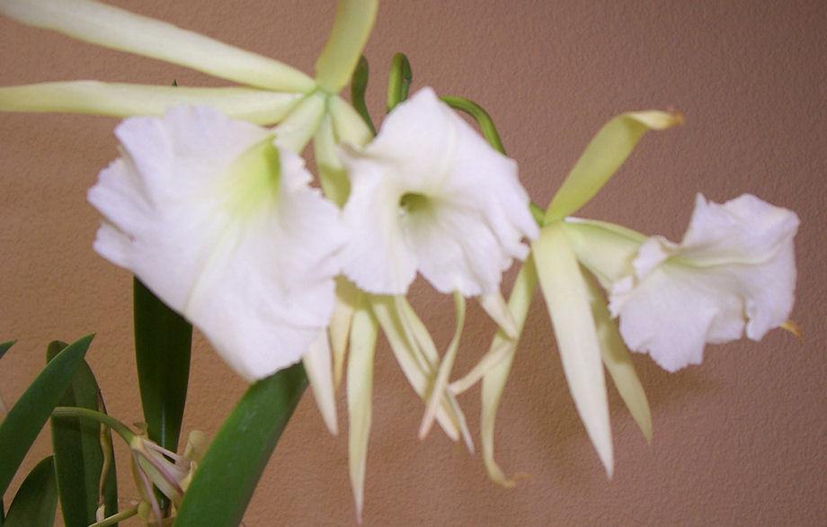 Brassavola 'Jiminy Cricket' (and its fragrant blooms)-brassavola-jiminy-cricket-jpg