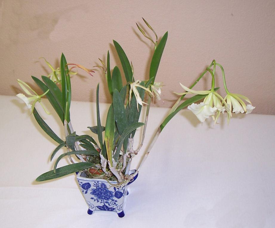 Brassavola 'Jiminy Cricket' (and its fragrant blooms)-brassavola-jiminy-cricket1-jpg