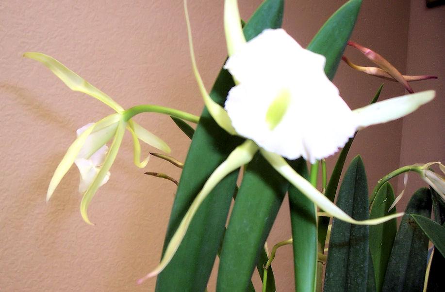 Brassavola 'Jiminy Cricket' (and its fragrant blooms)-brassavola-jiminy-cricket2-jpg