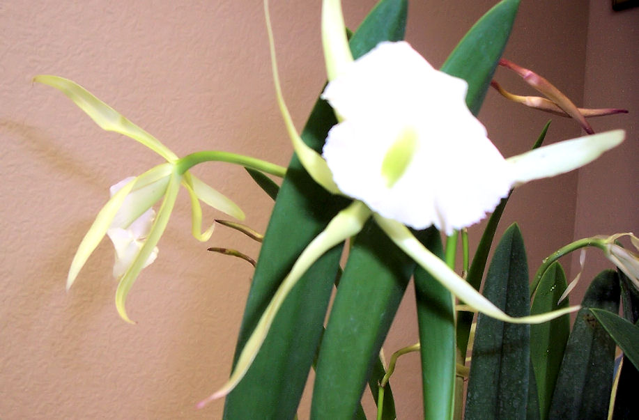 Brassavola 'Jiminy Cricket' (and its fragrant blooms)-brassavola-jiminy-cricket2-jpg