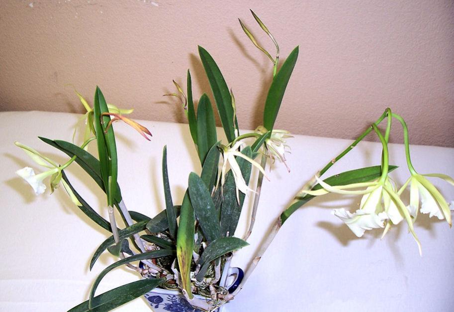 Brassavola 'Jiminy Cricket' (and its fragrant blooms)-brassavola-jiminy-cricket3-jpg