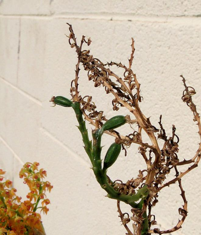 Polystachya paniculata in bloom and pregnant!-polystachya-paniculata-pods-jpg