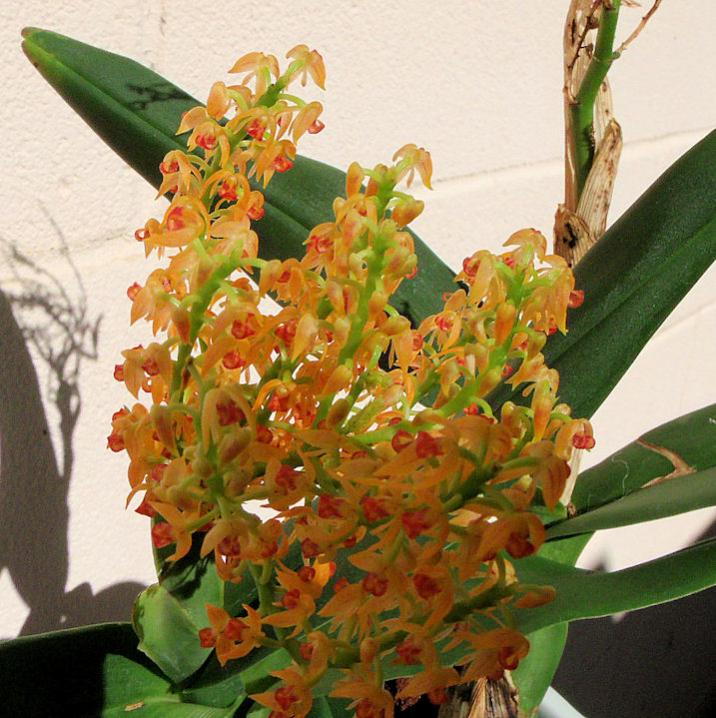 Polystachya paniculata in bloom and pregnant!-polystachya-paniculata2-jpg