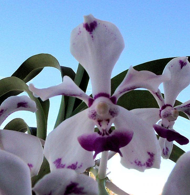 Vanda luzonica (on its 3rd bloom)-vanda-luzonica-jpg