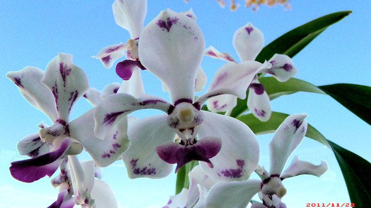 Vanda luzonica (on its 3rd bloom)-vanda-luzonica2-jpg