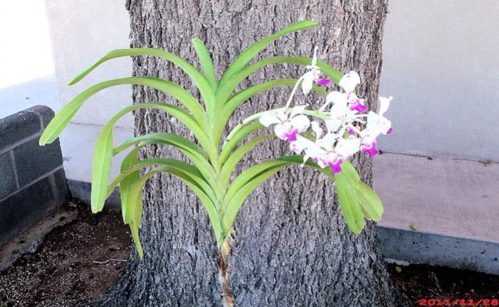 Vanda luzonica (on its 3rd bloom)-vanda-luzonica3-jpg