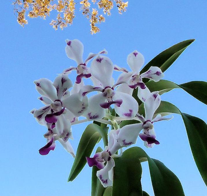 Vanda luzonica (on its 3rd bloom)-vanda-luzonica4-jpg