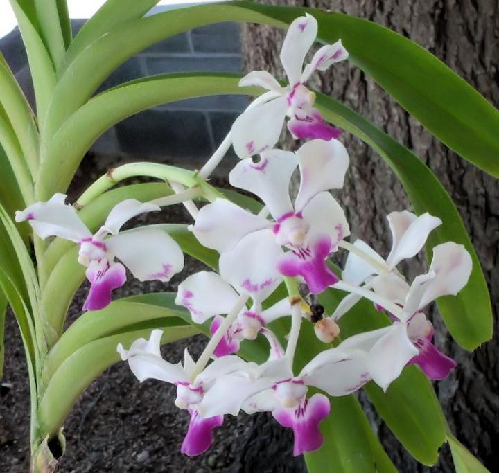 Vanda luzonica (on its 3rd bloom)-vanda-luzonica5-jpg