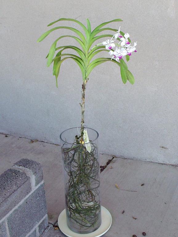 Vanda luzonica (on its 3rd bloom)-vanda-luzonica6-jpg