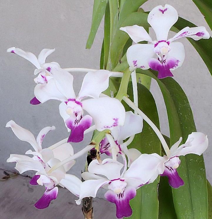 Vanda luzonica (on its 3rd bloom)-vanda-luzonica7-jpg