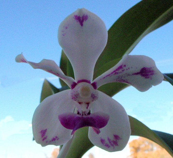 Vanda luzonica (on its 3rd bloom)-vanda-luzonica8-jpg