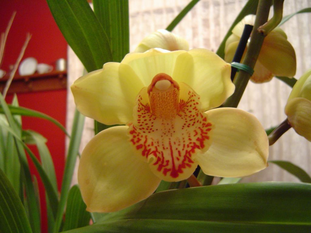 Cymbidium Mary Pinchess 'Del Rey' (In Bloom)-dsc00242-jpg